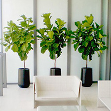 Fiddle Leaf Fig & Rubber Trees