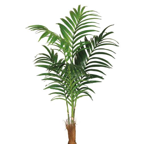 6 Kentia Silk Palm Tree